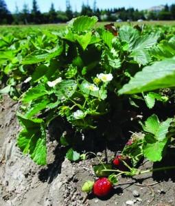 strawberryfieldsonoma